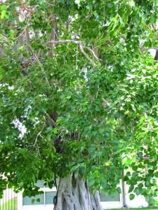 Bo tree, Ficus religiosa