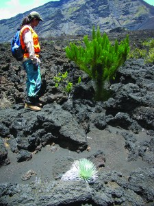 Kim Starr stands by a pine sapling in Haleakalā Crater. If these pines are not removed they will take over, leaving no room for the silversword and other plants an animals found only on Haleakalā. Photo by Forest and Kim Starr