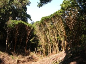 A dense infestation of strawberry guava, orwaiawī , in the Makawao Forest Reserve. Photo by Forest and Kim Starr