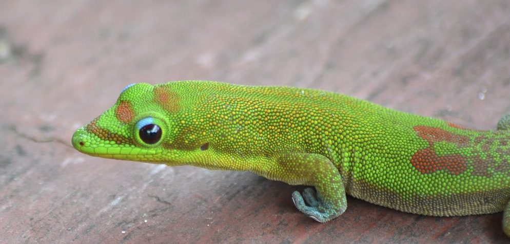 "Gold dust day geckos are here to stay. These colorful 5"" long lizards are increasingly widespread on Maui and nothing to worry about. Photo by Eric Sonstroem, Flikr."