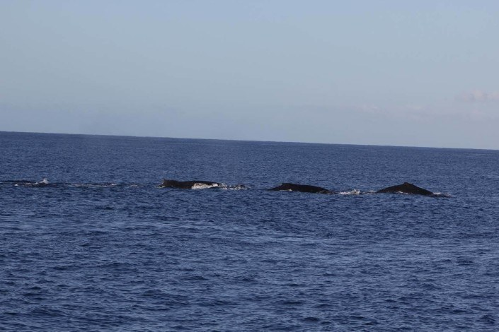 Maui Whale Watching In January