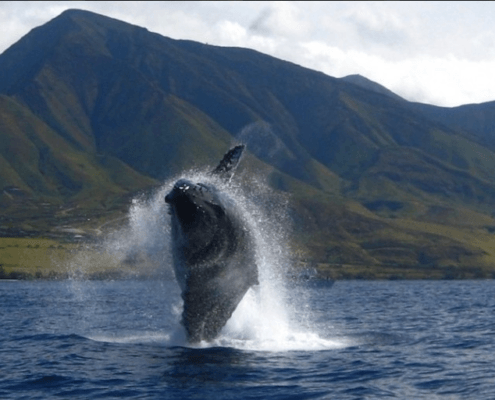 Humpback Whale Maui Breach