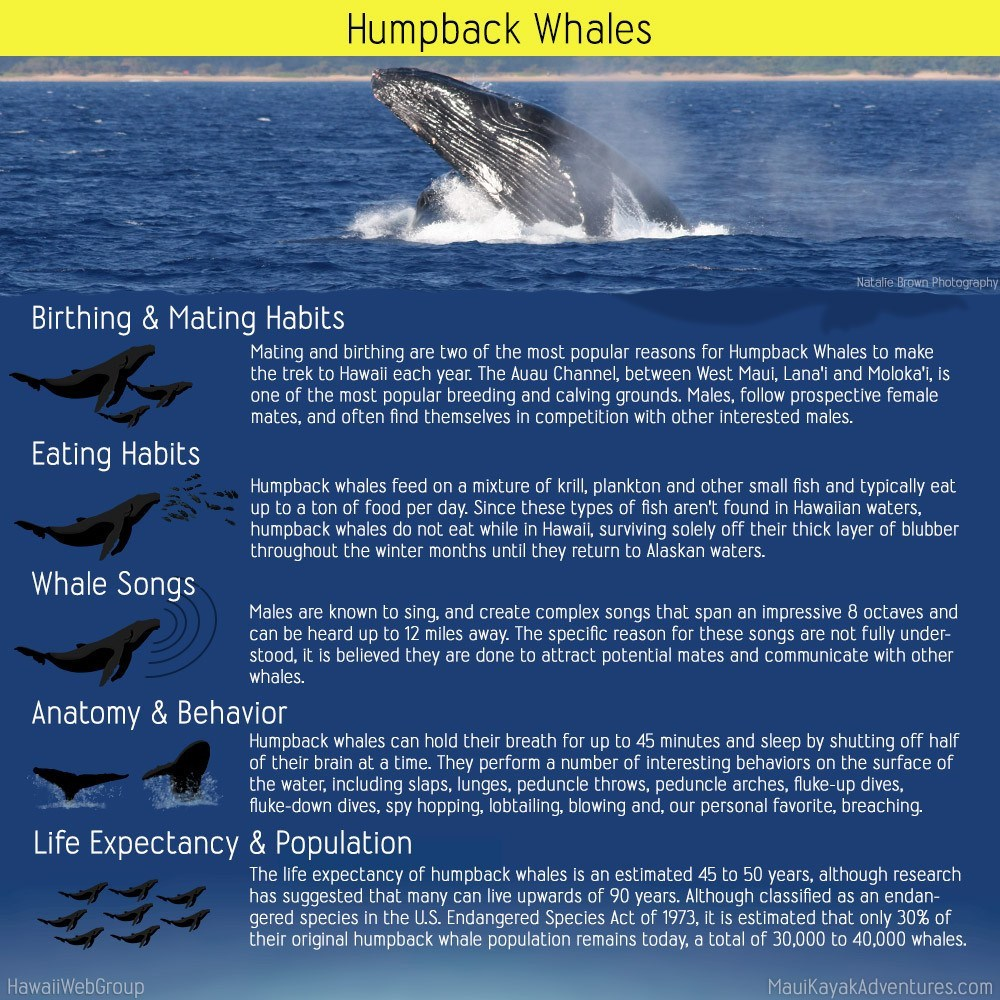 a description of humpback whales and how endangered are them today