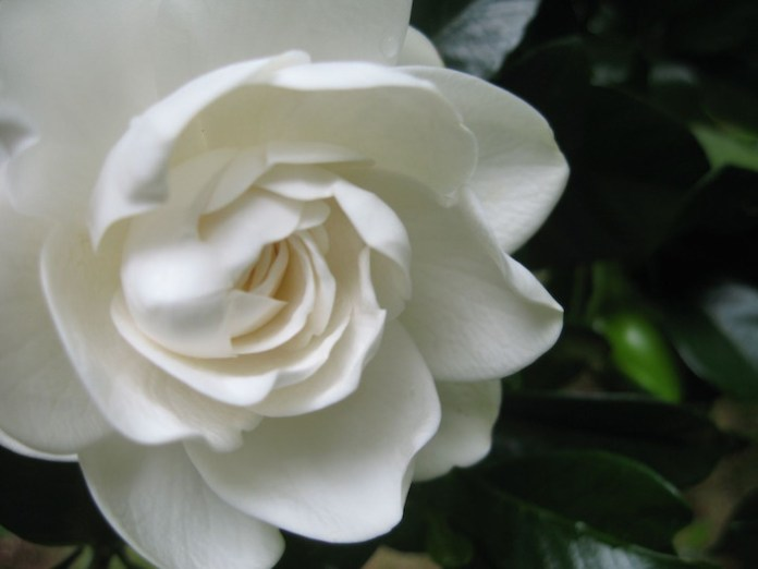 gardenia what is love