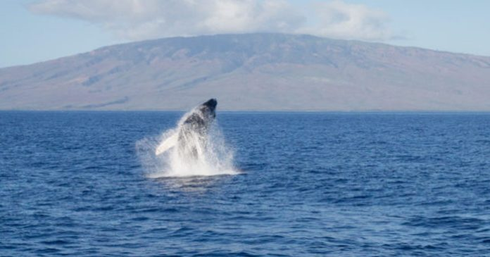 Whale Tales 2017 Maui