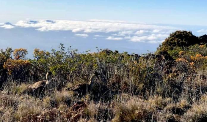 nene on Haleakala