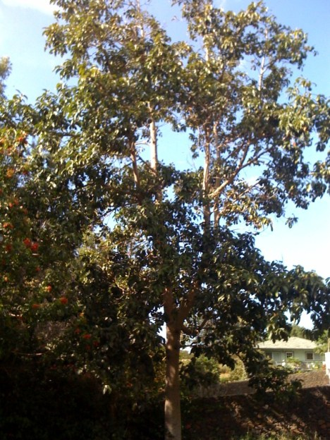 The avocado tree in my backyard, loaded with fruit and starting to drop
