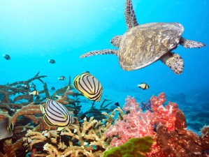 Snorkel with Hawaiian Sea Turtles in Maui