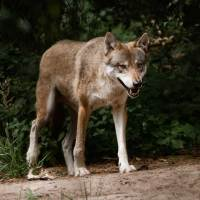 Vollmondwolfsnacht im Wildpark Schorfheide