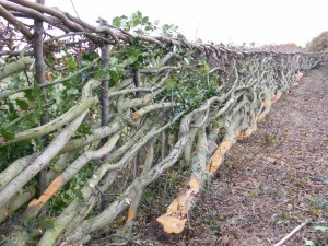 Hedgelaying P Blissett