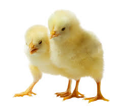 Chicks we have known