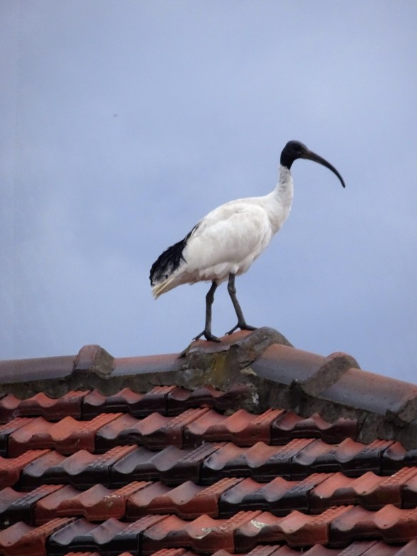 https://maureenhelen.com/wp-content/uploads/2018/11/Ibis-on-roof-Doubleview.jpg