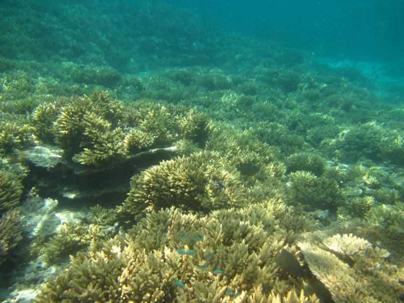 Belle_Mare_branching_corals_with_schools_of_fishes