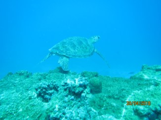 Marine Turle spotted at Trou aux Biches in the vicinity of Turtle Bay during snorkeling