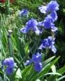 TN Iris