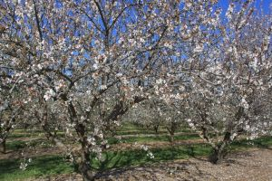 Almond trees in bloom Mar 2013 #1