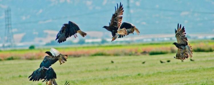 Swainson's Hawk by DFW sliderbox