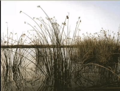 3 Tule marsh