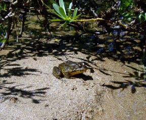 Sierra Nevada yellow-legged frog (Rana sierrae). Photo by Inland Desert Region biologist James Erdman.