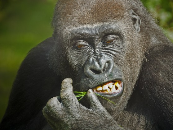 Greed Gorilla