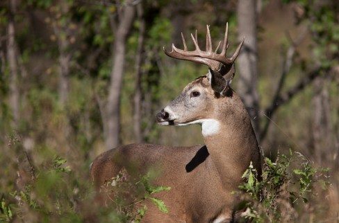 Whitetail deer - encountering a stag in the lead!
