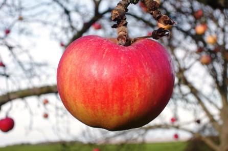 The reward of pruning - choice fruit!