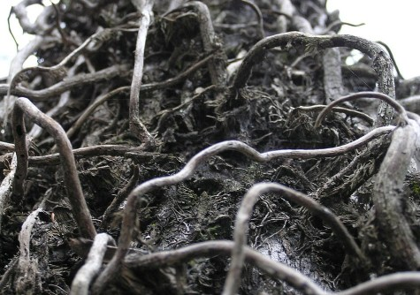 Tangled vine