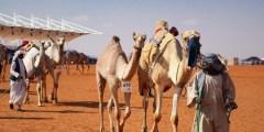 أخر أخبار مهرجان الإبل التابع للملك عبد العزيز
