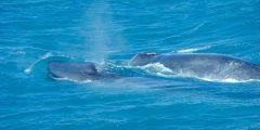 الحوت الازرق - موسوعة