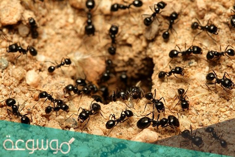 يبلغ عدد النمل المقاتل في مستعمراته حوالي