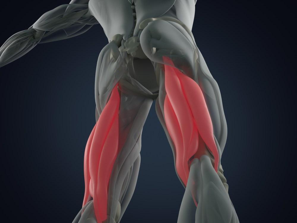 ハムストリングス 筋肉構造図