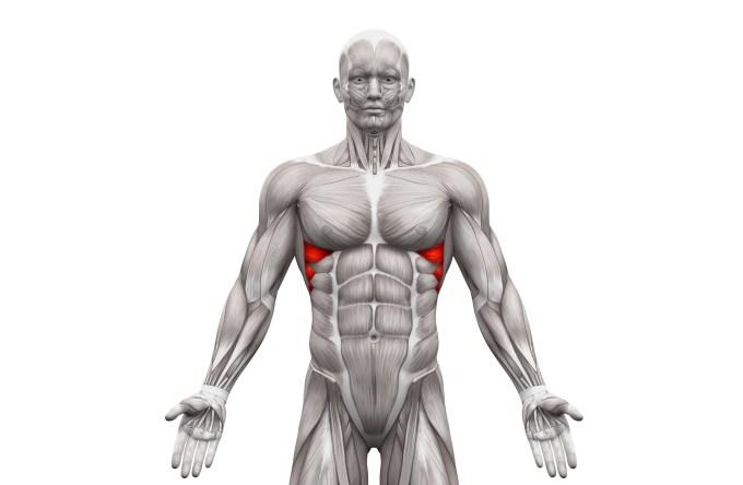 前鋸筋を示す人体模型