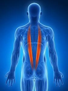 脊柱起立筋を表した3D画像