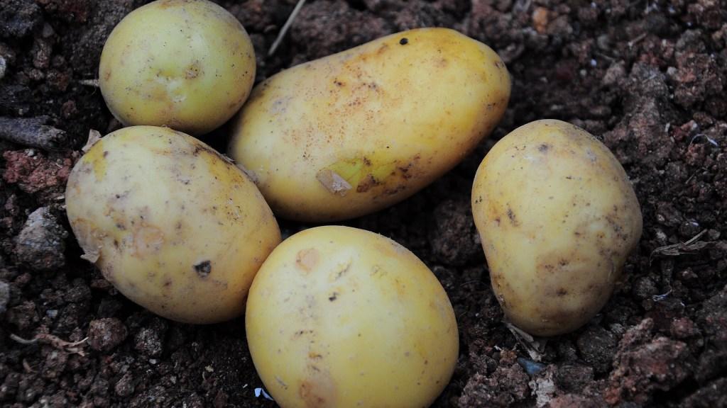 convocatoria-de-ayudas-para-afectados-polilla-patata