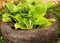 Cabbage in a junked tire.