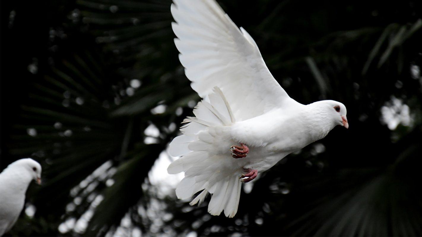 Weisse Tauben Hochzeit Weisse Tauben Und Herzballons Zur Hochzeit