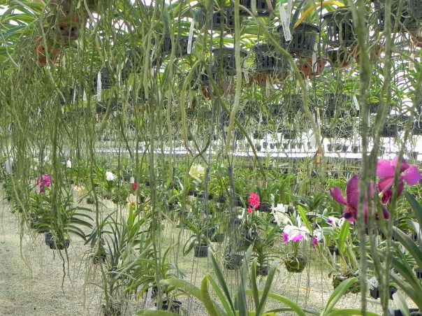 I should've asked just how many orchids they have; this is just one area. #RF Orchids