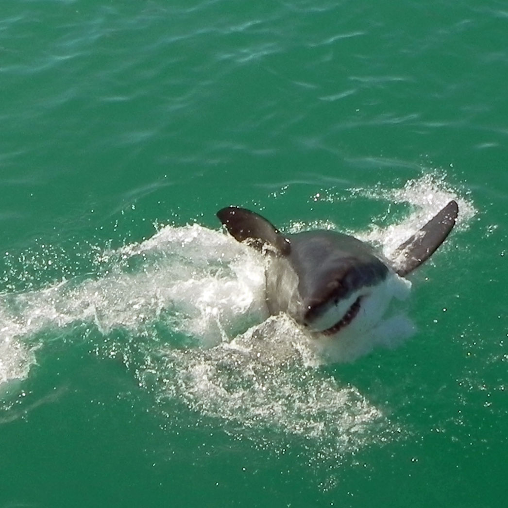 Great White Shark makes a move.