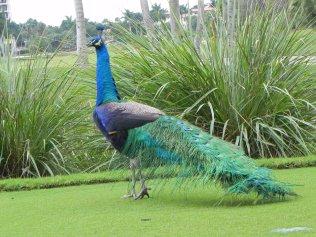 Peacock Crossing DB