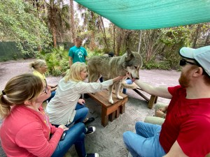 At Shy Wolf Sanctuary in Naples, FL.