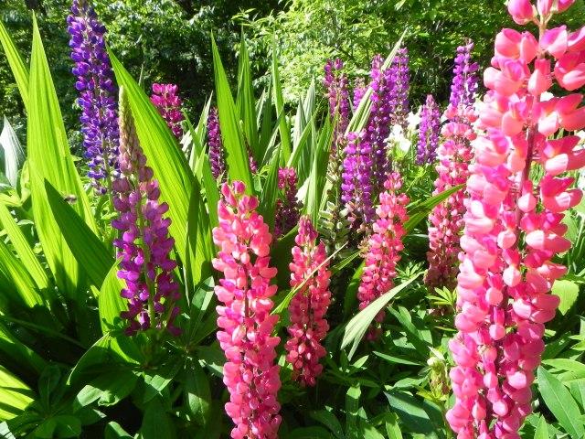 Flower Lupine