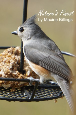 BIRD (TITMOUSE) 19 (NF)