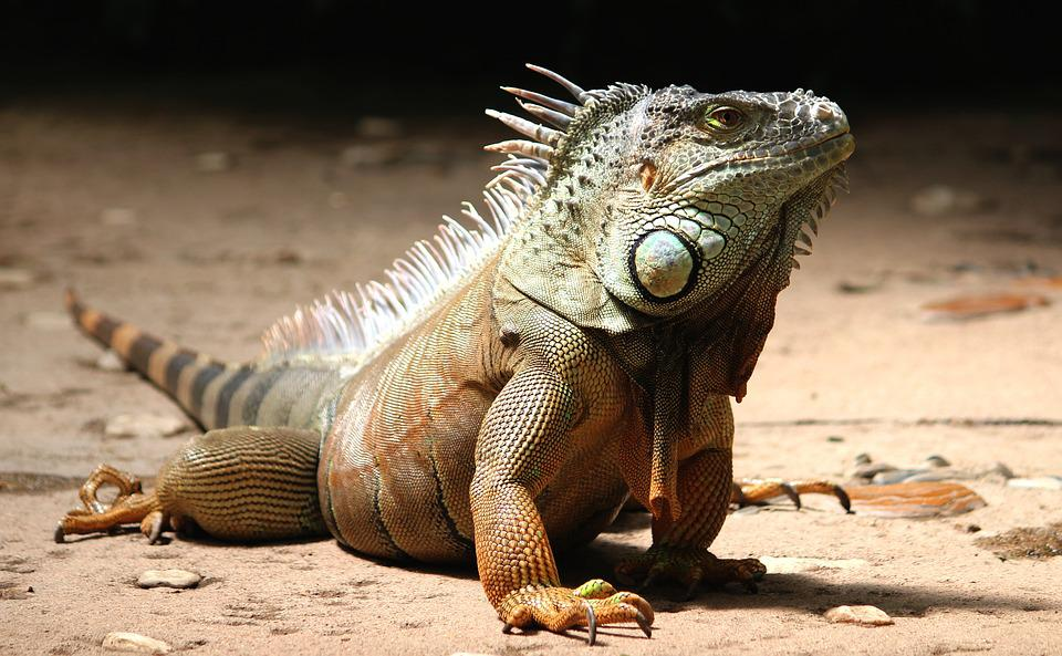 Iguana, Watch, Lizard, Reptile, Animal, Dragon, Scale