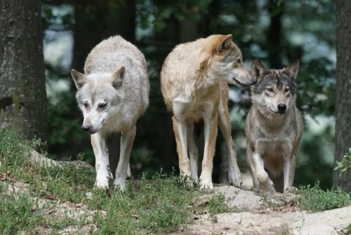 Females Wolves in a Pack
