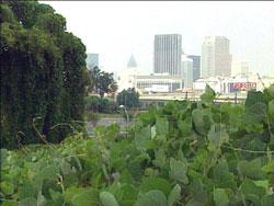 Kudzu in Atlanta, Georgia
