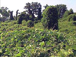 Kudzu covered field and trees