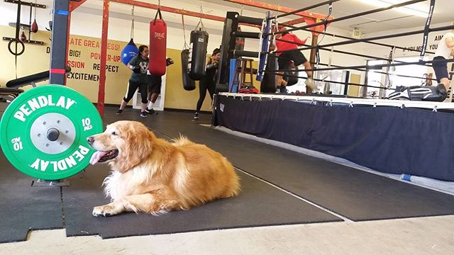 We have a goldie in the house #boxing #sandiegoboxing #gyms #sdgyms #fitness #dogs #goldenretrievers #sandiego #maxwellsboxing @yenniebear