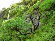 Euphorbia tuckyana 1 (15)