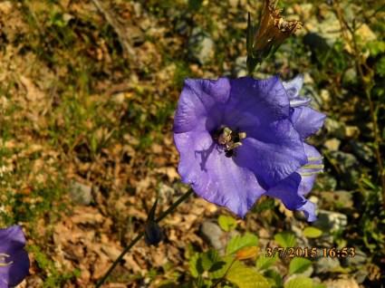 IMG_1622 campanule grande fleur