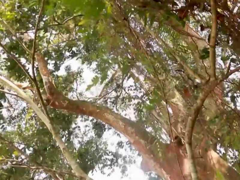 arbol-sri-lanka-extinto